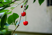 close up view of sweet red cherries hanging from tree with green garden bokeh