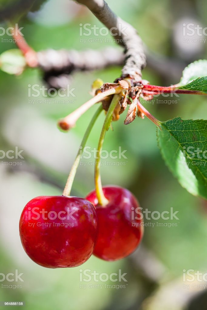 Red Cherries on Branches royalty-free stock photo