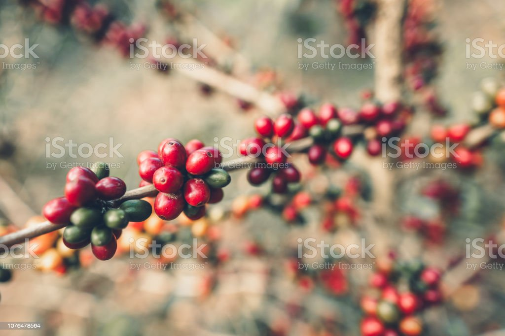 Rote Kirsche Kaffeebohnen Arabica In der Natur – Foto