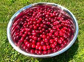 Red Cherry Harvesting. Organic freshly harvested Red Cherries inside metal bowl standing on green grass. Summer Cherry Harvesting.