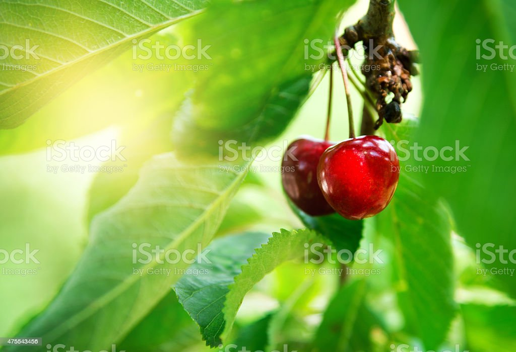red cherry in a tree stock photo
