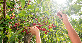 Red cherry on a tree branch in the garden, harvest time of berries. Berries in the sun, organic fruit.