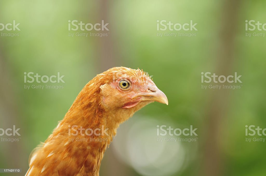 Red Chicken royalty-free stock photo
