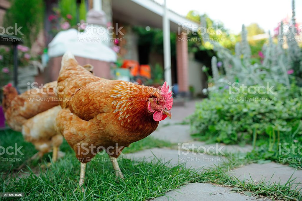 Red Chickens Walking in the Yard stock photo