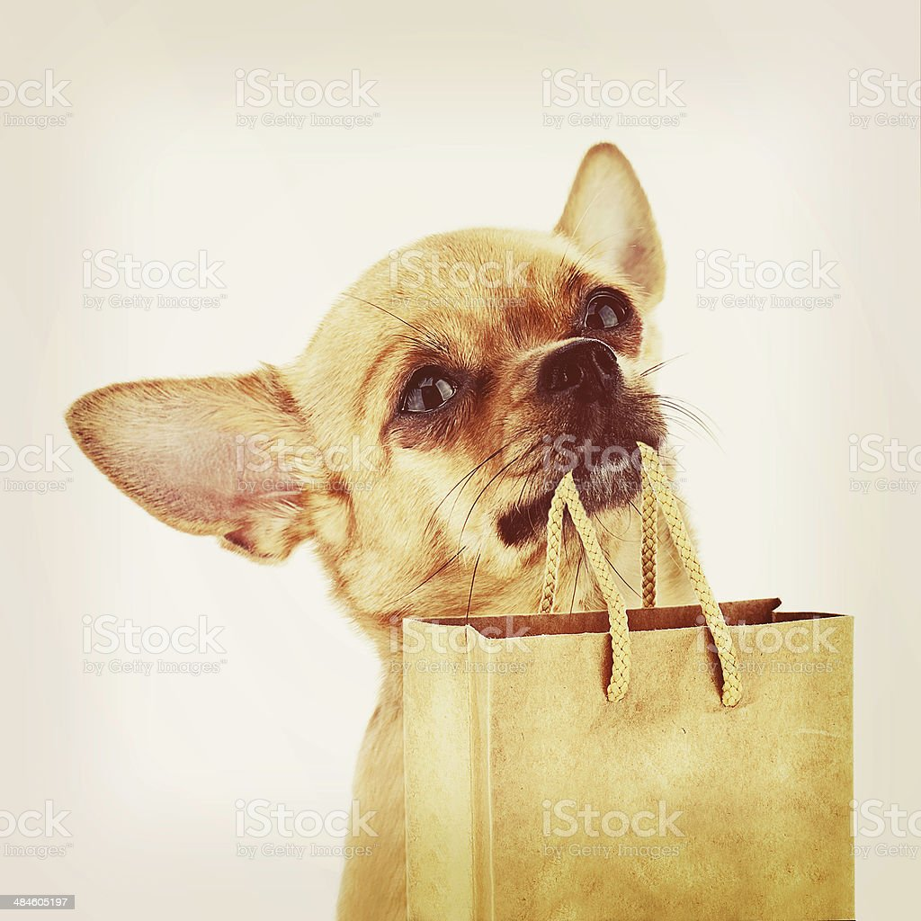 Red chihuahua dog with recycle paper bag. stock photo