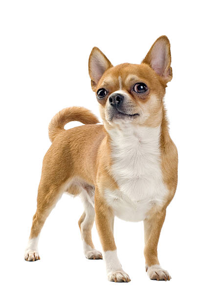 red chihuahua portrait  short haired chihuahua stock pictures, royalty-free photos & images
