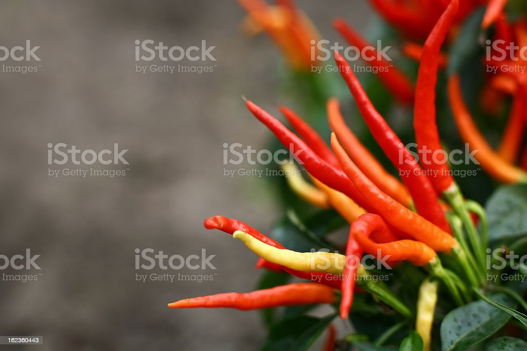 Red chili pepper on the vine. Copy space. stock photo
