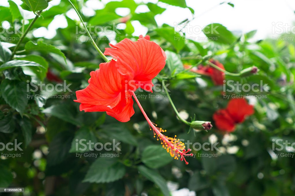 Red Chinese Rose, Shoe flower or a flower of red hibiscus stock photo