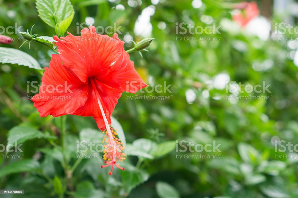 Red Chinese Rose, Shoe flower or a flower of red hibiscus foto de stock royalty-free