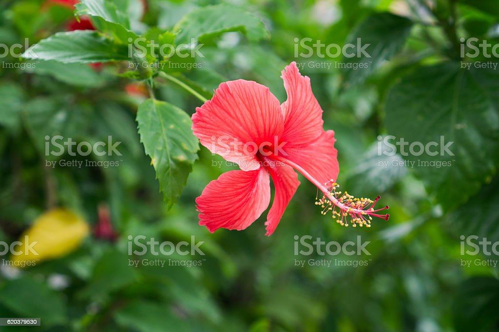 Red Chinese Rose, Shoe flower or a flower of red hibiscus zbiór zdjęć royalty-free