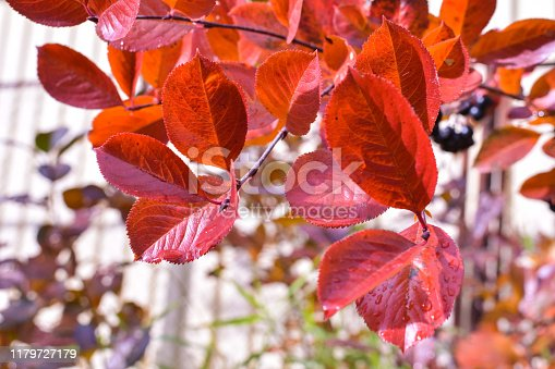 istock Red chokeberry leaves under the autumn sun 1179727179
