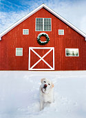 An adorable white Labrador Retriever stands in the snow in front of a bright red barn in Connecticut, USA.