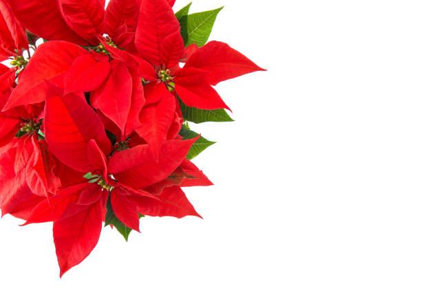 Red christmas flower poinsettia isolated white background picture id875992582?b=1&k=6&m=875992582&s=612x612&w=0&h=etsvyijo23gaugfzn hrqgthi3ixrv iy9ugiknkh0k=