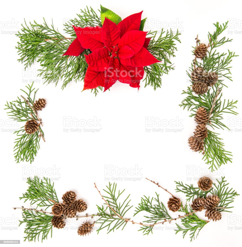 Red Christmas flower poinsettia thuja branches Floral background stock photo