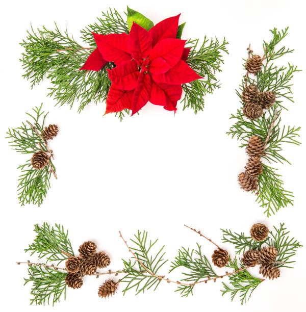 rot weihnachten blume weihnachtsstern thuja zweige blumenkarte - weihnachtssterne aus papier stock-fotos und bilder