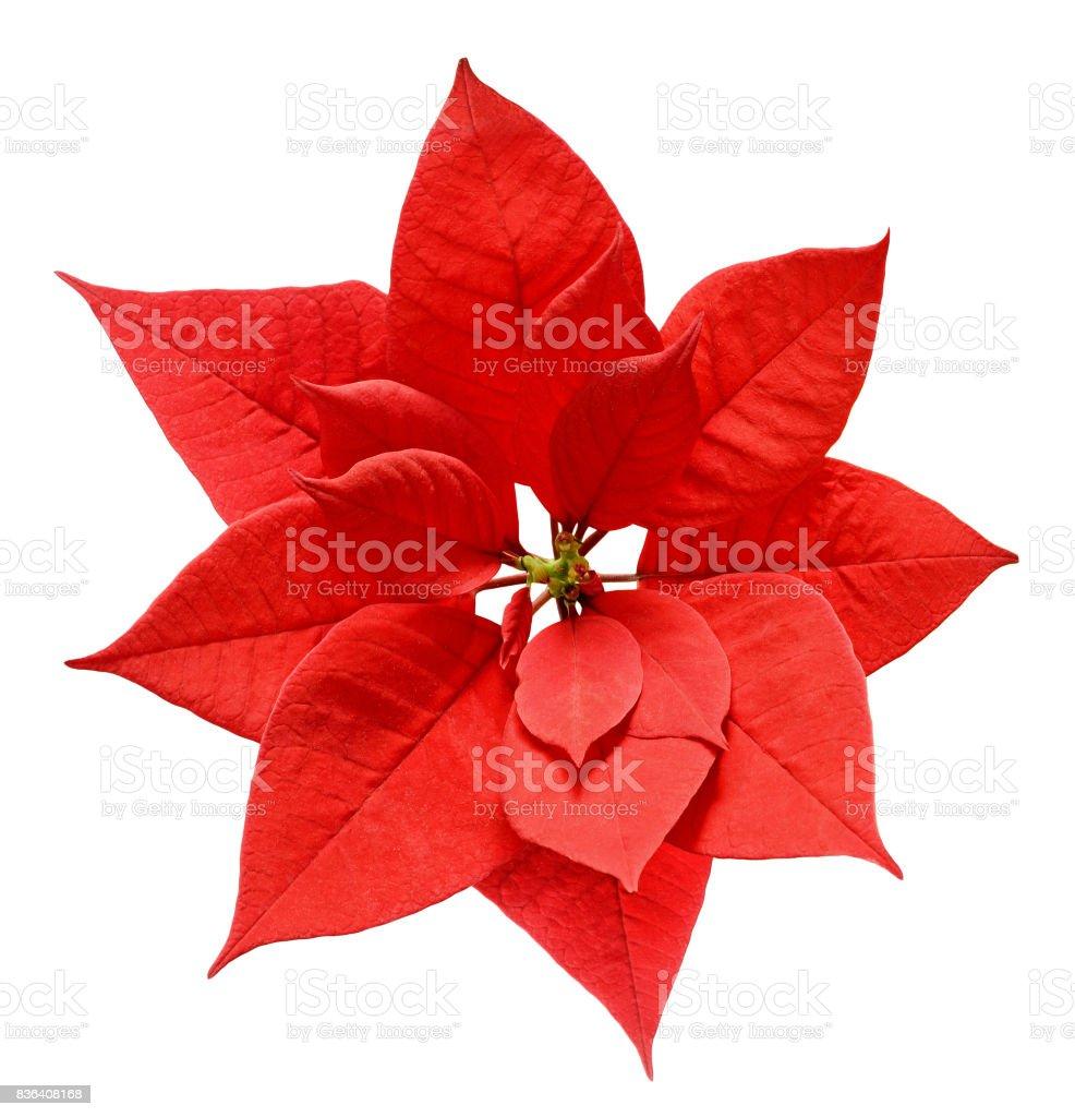Red Christmas poinsettia flower stock photo