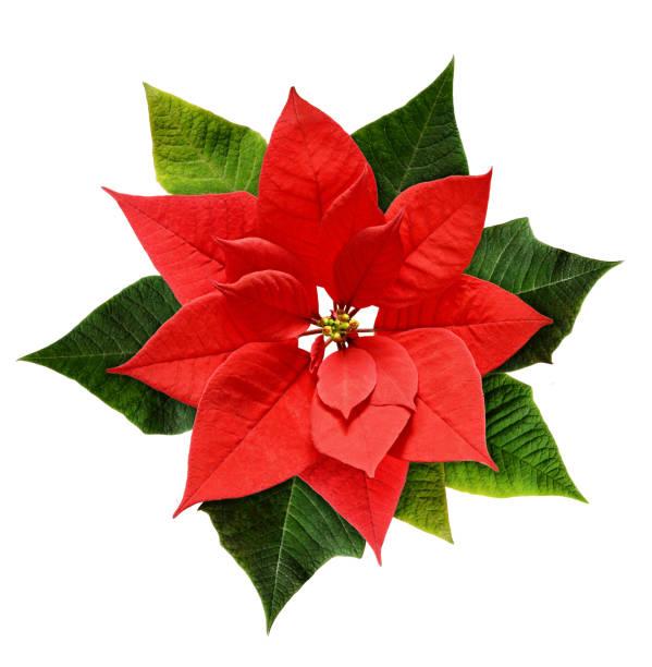 red christmas poinsettia flower - kerstster stockfoto's en -beelden
