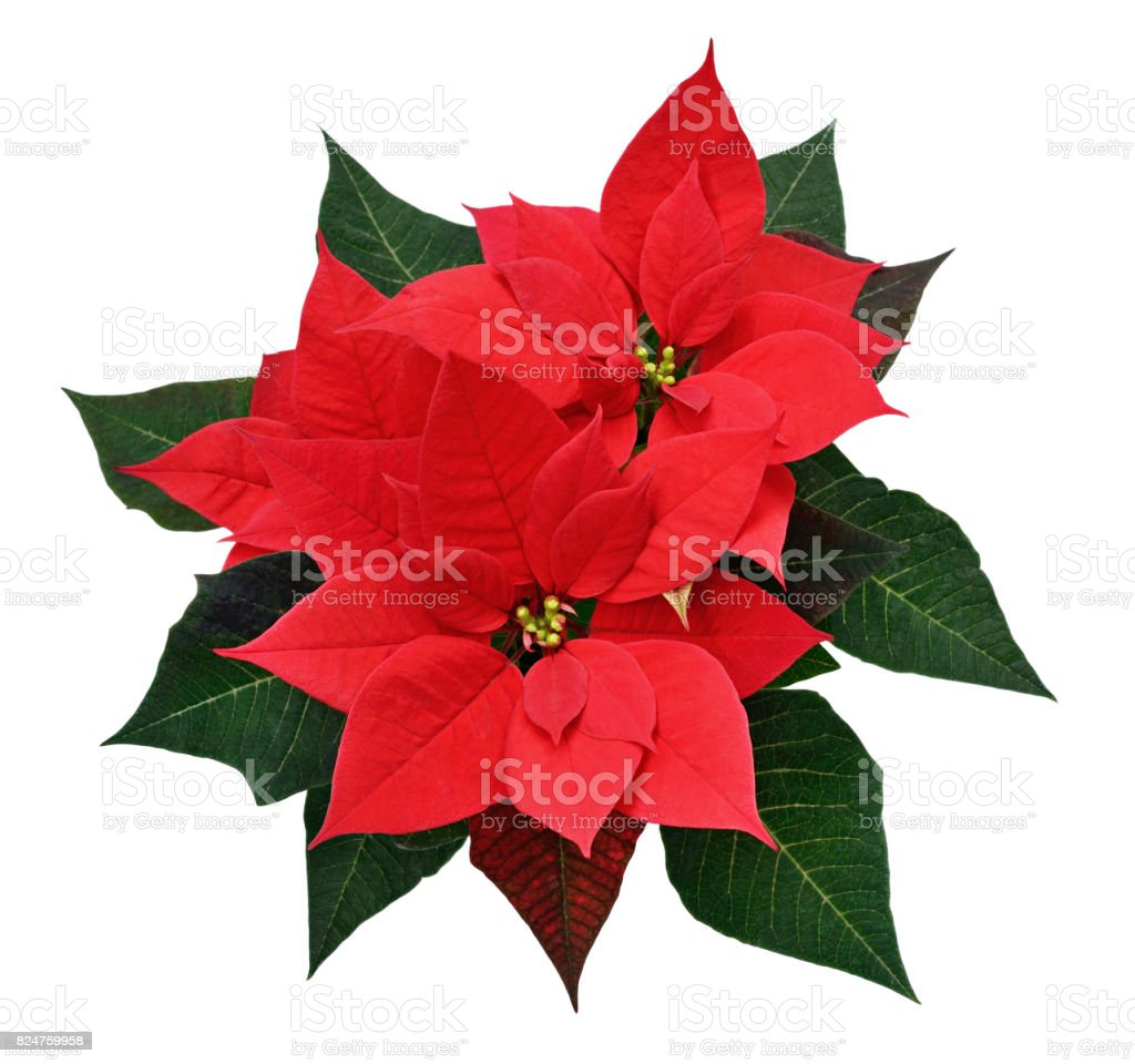 Red Christmas poinsettia flowers stock photo