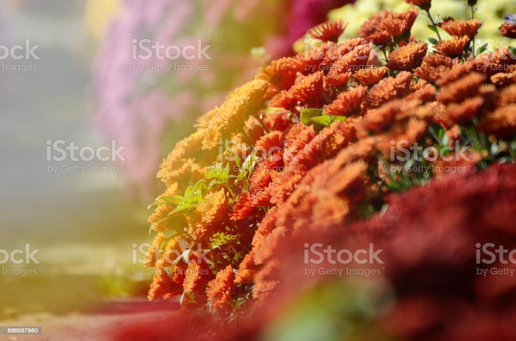 Red chrysanthemum. Beautiful autumn flower in a garden decor. Floral background for design. stock photo