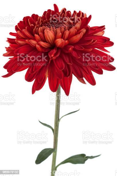 Red chrysanthemum flower head picture id989979132?b=1&k=6&m=989979132&s=612x612&h=iq5mjmwfhlxlvjbpjtbciwx8ujn1siitwgiysdhelka=