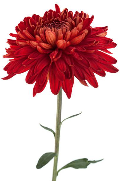 rode chrysant bloem hoofd - chrysant stockfoto's en -beelden