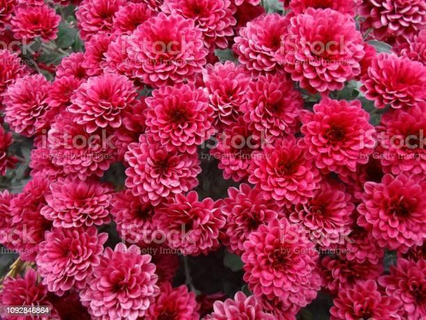 Red chrysanthemum flowers background picture id1092846864?b=1&k=6&m=1092846864&s=612x612&h=vhboxasul 4scgltrefweokdfuy60oktjlirwzuj9po=