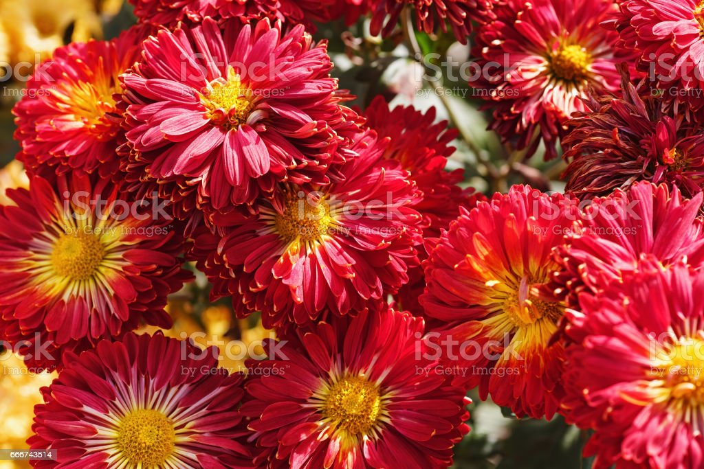 Red chrysanthemum flowers foto stock royalty-free