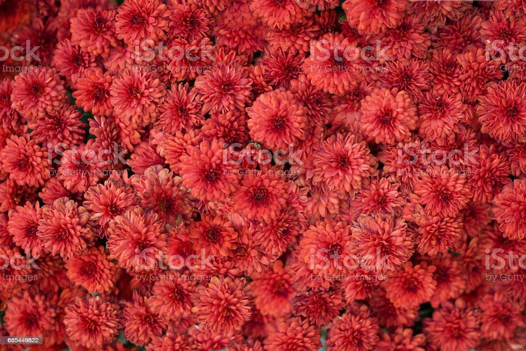 Red chrysanthemum image foto de stock royalty-free