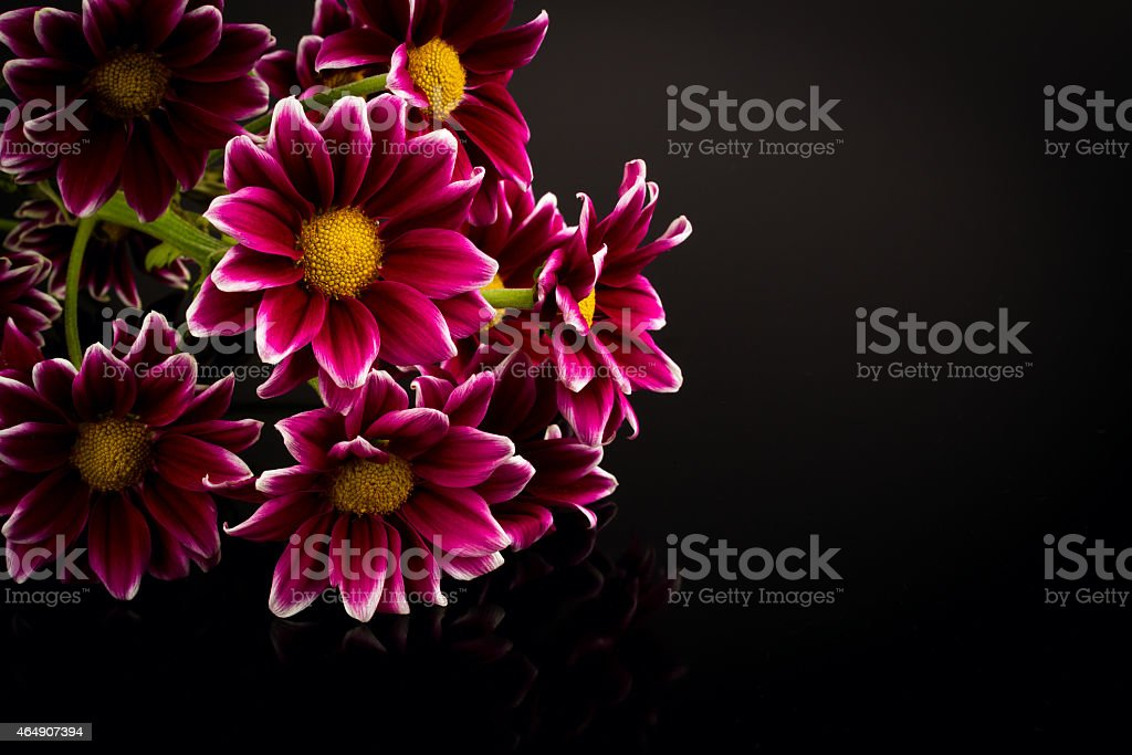 red chrysanthemum stock photo