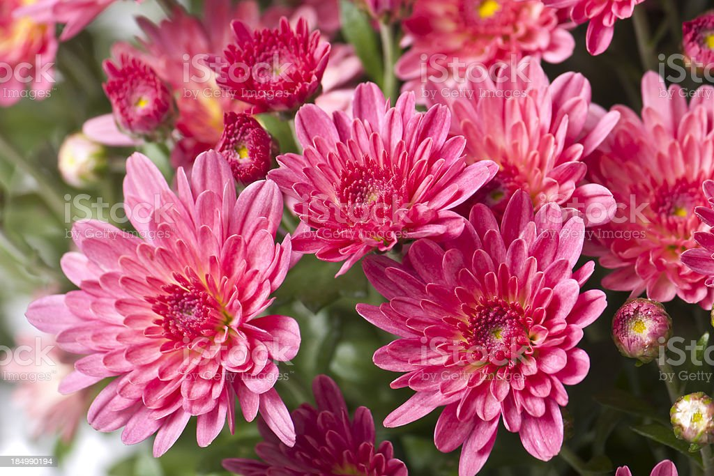 red chrysanthemum, spring time flower beauty in nature royalty-free stock photo