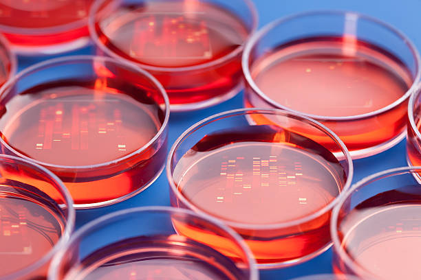 Red circular petri dishes with samples for DNA sequencing stock photo