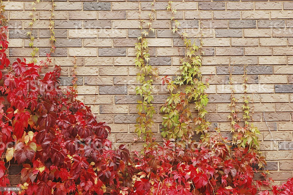 red climbing ivy royalty-free stock photo
