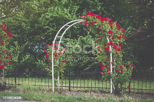 Flower arch with blooming red climbing roses. Garden design concept. Sunlight, soft selective focus, blurred background, toned moody picture. Copy space
