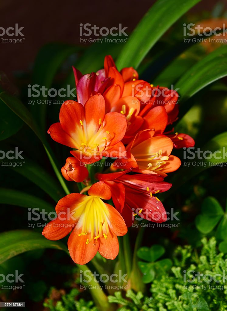 Red Clivia miniata, flowers stock photo