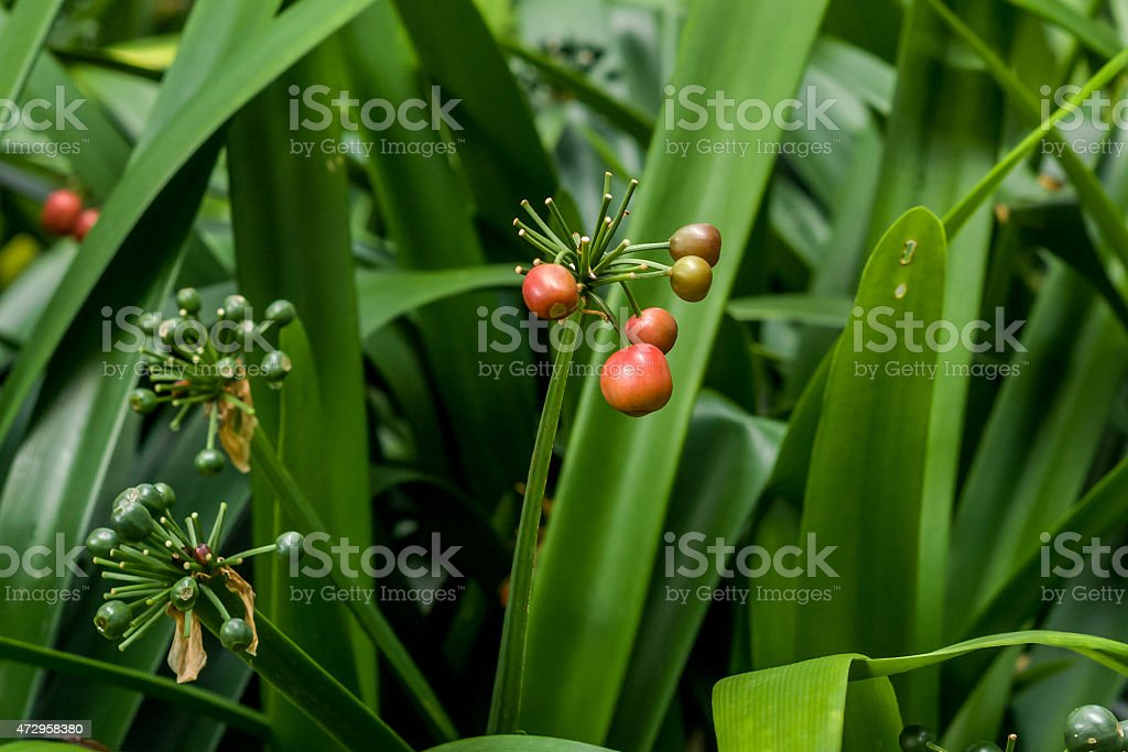 red clivia stock photo