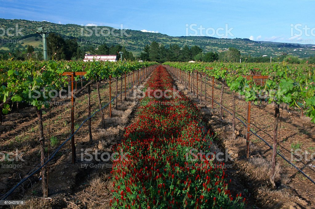 Red Clover Amid a Vineyard in California's Napa Valley stock photo
