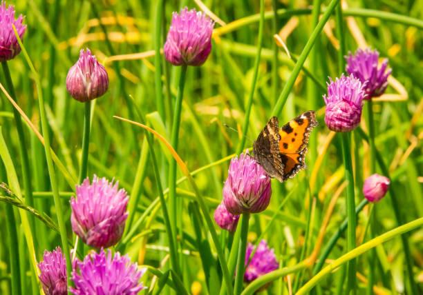 Red clover and butterfly picture id841962358?b=1&k=6&m=841962358&s=612x612&w=0&h=s4phyk6yx zz0tydcsxnj2fktu829grpcj7tumxsy54=