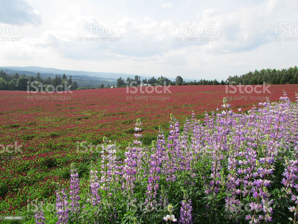 Red Clover And Lupine stock photo