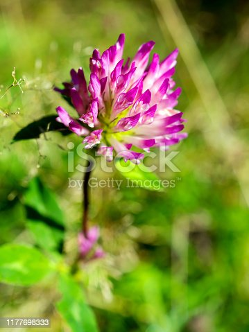 Blooming red clover flower, closeup. Trifolium pratense, the red clover, is a herbaceous species of flowering plant in the bean family Fabaceae
