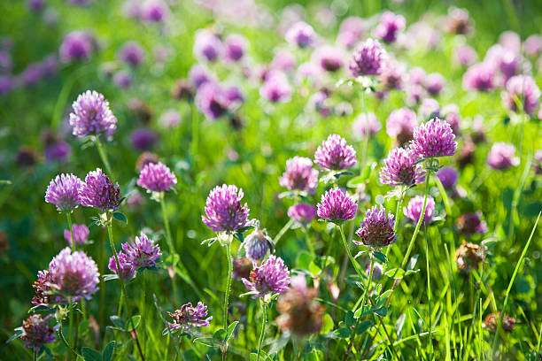 Red Clover Flowers stock photo