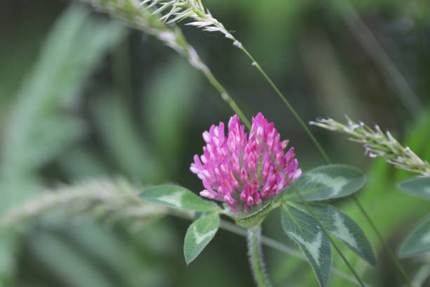 Red Clover in Springtime in Canada stock photo