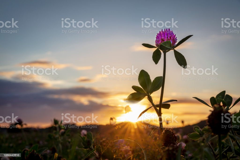 Red clover in sunset stock photo