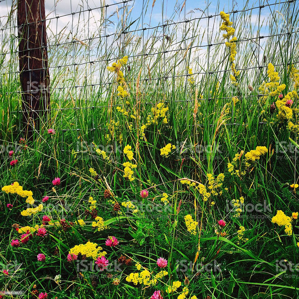 Red Clover, Lady's Bedstraw, Grasses growing up steel mesh fence stock photo