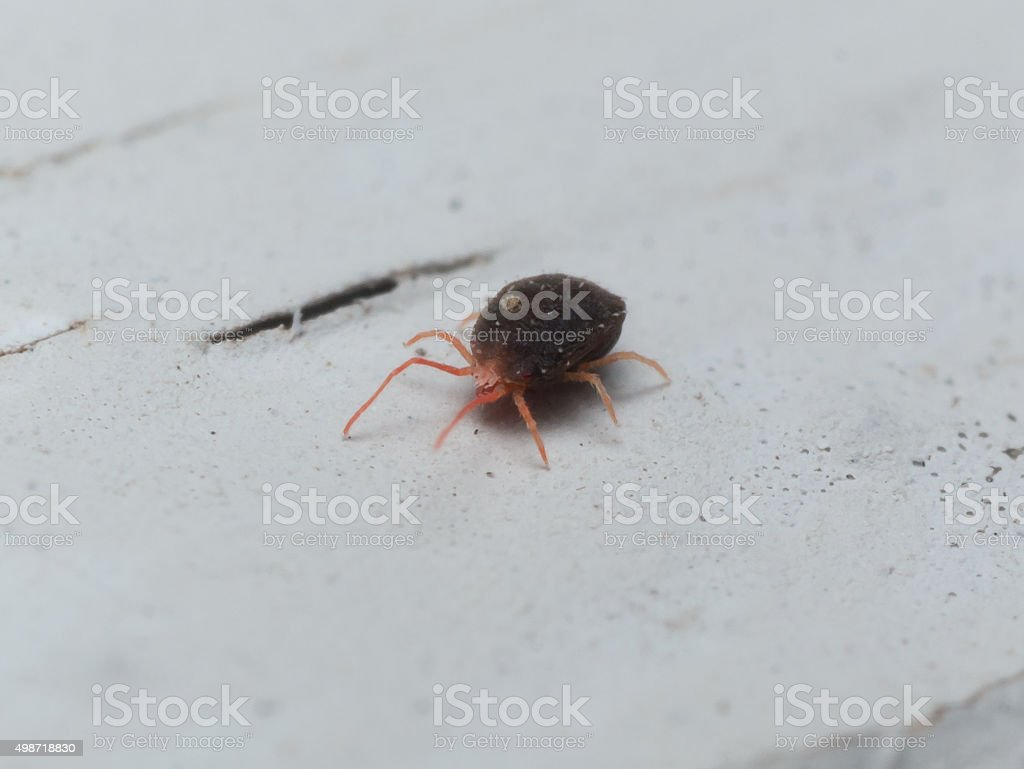 Red Clover Mite Crawls on White Surface stock photo