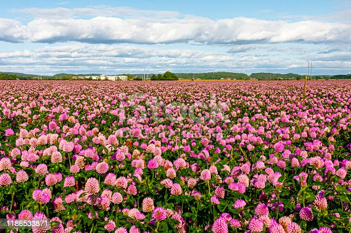 Red clover flower in a field of clovers