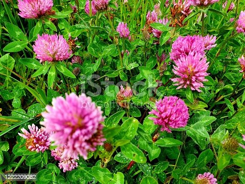 Several red clover flowers (Trifolium pratense) captured on a meadow near Zurich city during springtime.