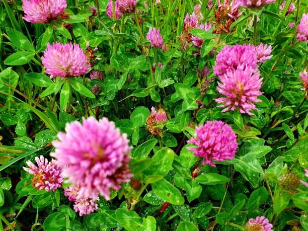 Red Clover - Trifolium pratense stock photo