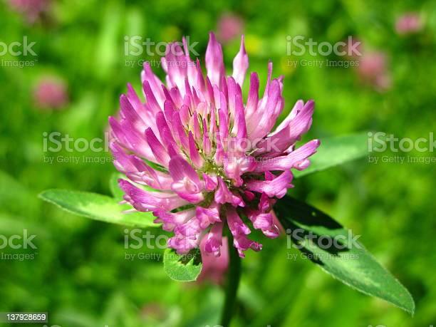 Red clover trifolium pratense picture id137928659?b=1&k=6&m=137928659&s=612x612&h=ap0vyzn80 7fwr zbpc5u9zhcdnkjkp5rkjzqd2ezim=