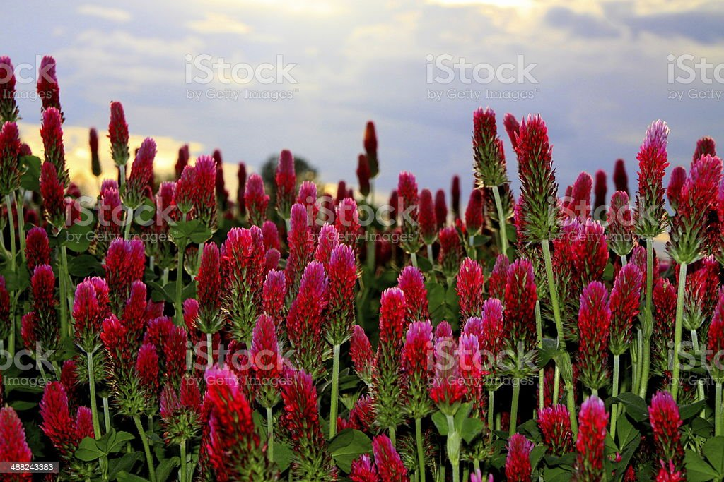 Red clover with blue sky stock photo