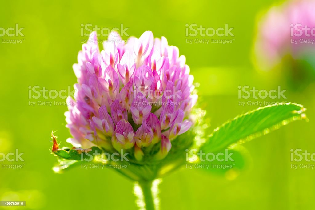 Red Clovers stock photo